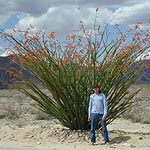 Ocotillo Joshua Tree
