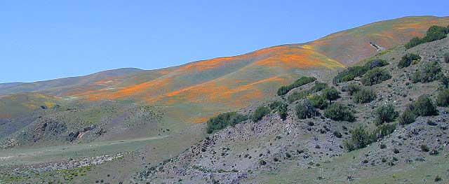 tejon poppies