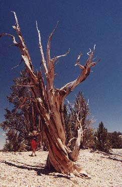 California Bristlecone Pine Trees