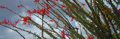 Ocotillo California