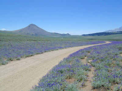 Lupine Way @ Coyote Flat