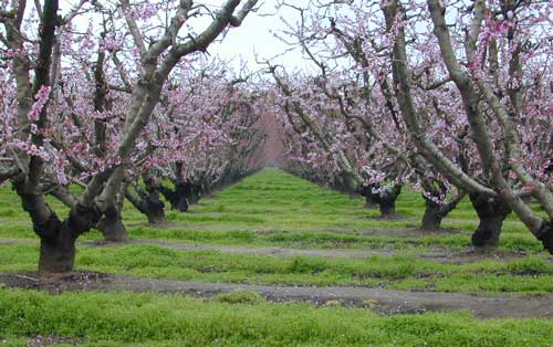Orchards Blooming San Joaquin Valley