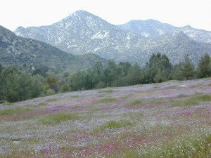 Kern Wildflowers