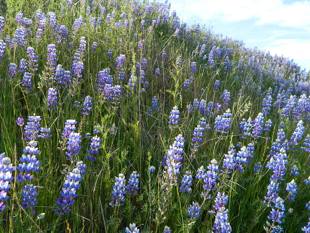 Lupine on Pozo Rd