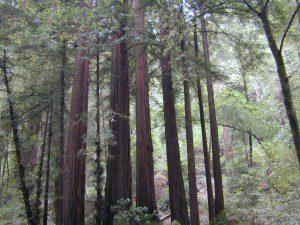 Marin Redwoods