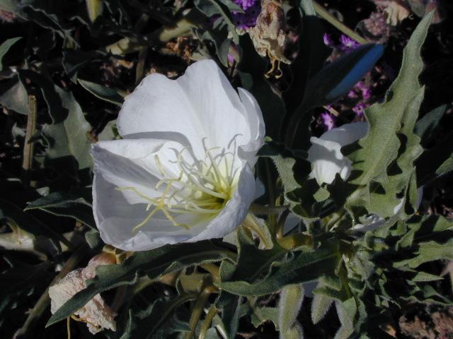 Anza Borrego Flora