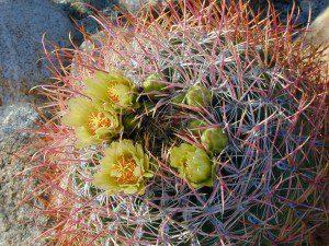 Barrel Cactus Anza