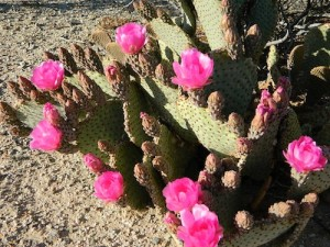 Pink Cactus Bloom