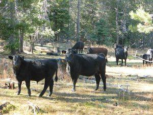 cattlecowsbeefy