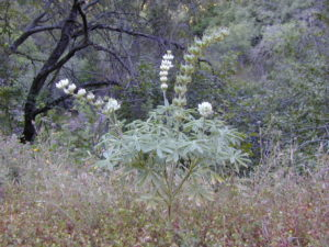 Tall White Lupine
