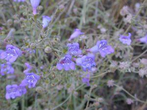 wild sierra flora