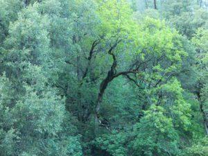 Forest Oaks Mendo
