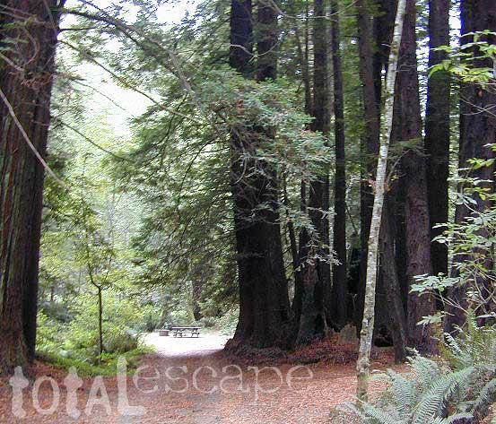 Redwood Forest Mendocino